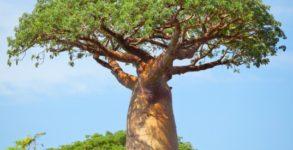 baobab właściwości