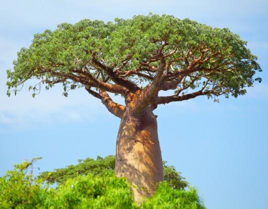 Owoce baobabu i ich właściwości lecznicze