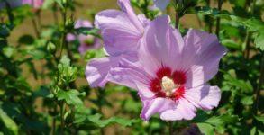 Poznaj właściwości hibiskusa